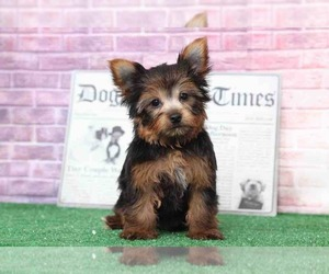 Yorkshire Terrier Puppy for Sale in BEL AIR, Maryland USA