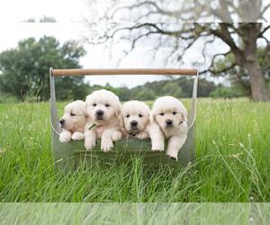 Golden Retriever Puppy for sale in COLLEGE STA, TX, USA