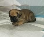 Small #30 Mastiff