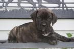 Boerboel Puppy For Sale in FREDERICKSBURG, OH, USA