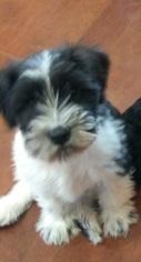 Schnauzer (Miniature) Puppy For Sale in SPRING HILL, KS, USA