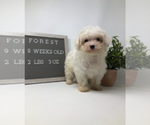 Maltipoo Puppy for Sale in MIDDLESEX, North Carolina USA