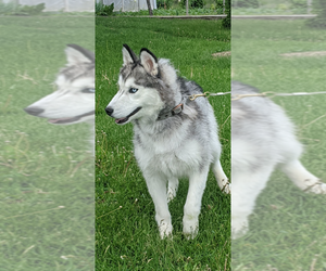 Siberian Husky Dog for Adoption in GARWOOD, Idaho USA