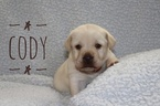 Adorable yellow labs for sale