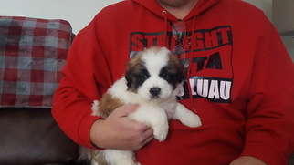 Newfoundland-Saint Bernard Mix Puppy for sale in BERESFORD, SD, USA