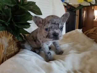 View Ad: French Bulldog Puppy for Sale near Texas, CONROE
