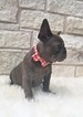 French Bulldog Puppy For Sale in DURANT, OK, USA