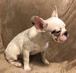 French Bulldog Puppy For Sale in CHARLESTON, SC, USA