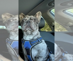 French Bulldog Dog for Adoption in GILBERT, Arizona USA