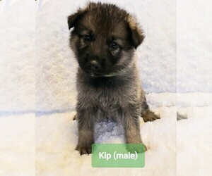 German Shepherd Dog Puppy for Sale in CULLMAN, Alabama USA