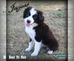 Jaguar Small Mini Black Tri Male Aussie