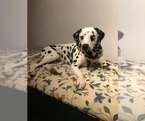 Dalmatian Dog for Adoption in CLARKSBURG, New Jersey USA