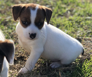 Jack Russell Terrier Dog for Adoption in BALTIMORE, Maryland USA