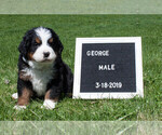 Puppy 4 Bernese Mountain Dog
