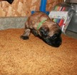 Soft Coated Wheaten Terrier Puppy Popeye