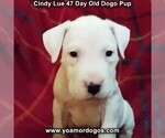 Small Photo #13 Dogo Argentino Puppy For Sale in PINEVILLE, MO, USA