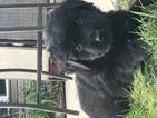 Newfoundland Puppy For Sale in KOKOMO, IN, USA