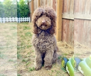 Mother of the Goldendoodle-Poodle (Standard) Mix puppies born on 08/14/2020
