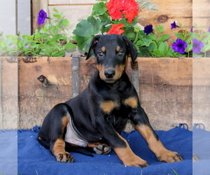 Doberman Pinscher Puppy for sale in QUARRYVILLE, PA, USA