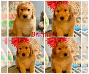 Golden Retriever-Goldendoodle Mix Puppy for Sale in LEICESTER, North Carolina USA