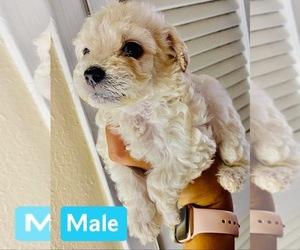 Maltipoo Puppy for sale in EL PASO, TX, USA