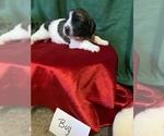 Puppy 4 Saint Berdoodle