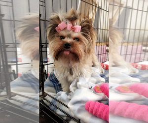 Mother of the Yorkshire Terrier puppies born on 12/25/2020