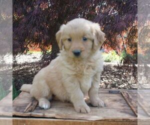 Goldendoodle-Poodle (Miniature) Mix Puppy for sale in AUGUSTA, WV, USA