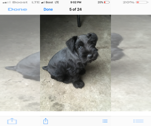 Schnauzer (Miniature) Puppy for sale in DADE CITY, FL, USA