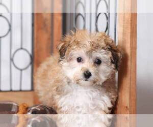 Yo-Chon Puppy for sale in NAPLES, FL, USA