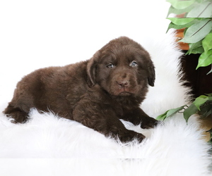 Newfoundland Puppy for sale in SHILOH, OH, USA