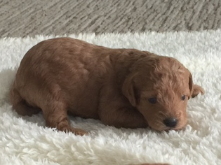Labradoodle Puppy for sale in BOUNTIFUL, UT, USA