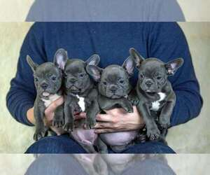 French Bulldog Puppy for Sale in SEATTLE, Washington USA