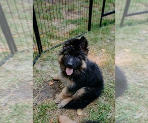 German Shepherd Dog Puppy for sale in ROCKFORD, MI, USA