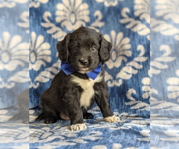Medium Photo #2 Cocker Spaniel-Unknown Mix Puppy For Sale in CHRISTIANA, PA, USA