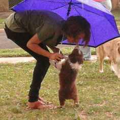 Australian Shepherd Puppy For Sale in LUBBOCK, TX, USA