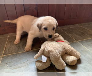 Great Dane-Labrador Retriever Mix Puppy for Sale in WHITE SULPHUR SPRINGS, West Virginia USA