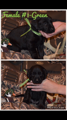 Labrador Retriever Puppy For Sale in LIVINGSTON, TX, USA
