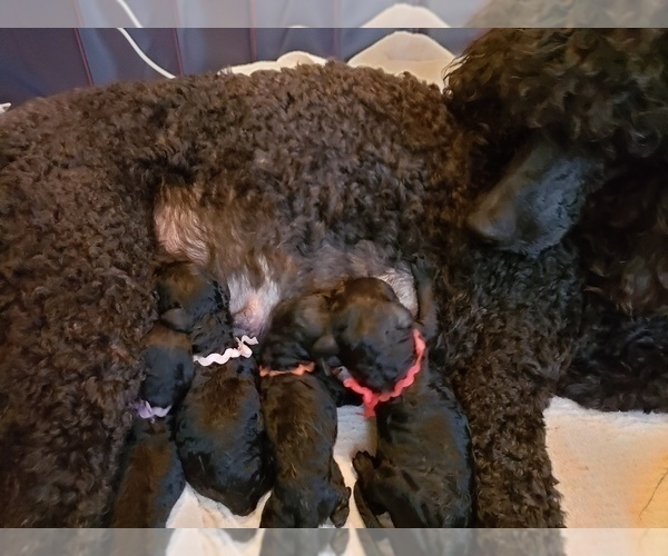 Medium Photo #13 Poodle (Standard) Puppy For Sale in DYERSBURG, TN, USA