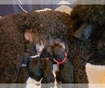 Small Photo #13 Poodle (Standard) Puppy For Sale in DYERSBURG, TN, USA