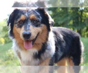 Mother of the Australian Shepherd puppies born on 07/08/2020