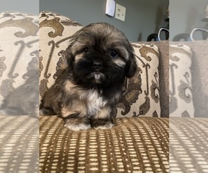 Shih Tzu Puppy for sale in RICHMOND, IL, USA