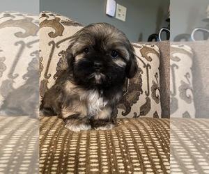Shih Tzu Puppy for sale in RICHMOND, IL, USA