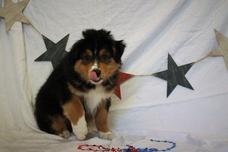 Miniature Australian Shepherd Puppy For Sale in MOUNT VERNON, WA, USA