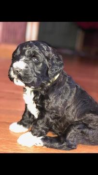 Saint Berdoodle puppy