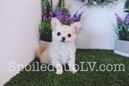 Pom-A-Poo Puppy For Sale in LAS VEGAS, NV, USA