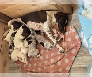 German Shorthaired Pointer Puppy for sale in WINTERS, CA, USA
