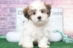 Jack Wonderful Male MalShi Puppy