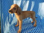 American Foxhound Puppy For Sale in GROVESPRING, MO