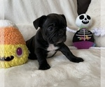 Small Photo #1 French Bulldog Puppy For Sale in JOHNS ISLAND, SC, USA